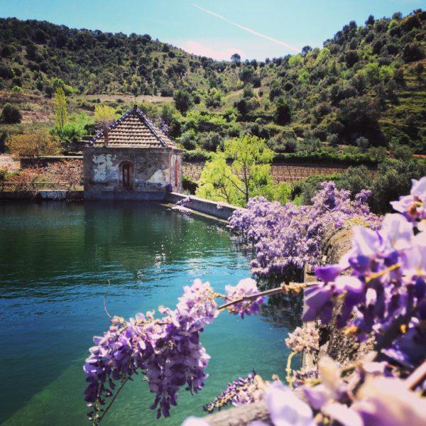 Wijngaard in bloei - Lo Coster Blanc Sangenís i Vaqué