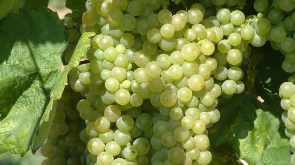 pitloze druiven aan wijnstok